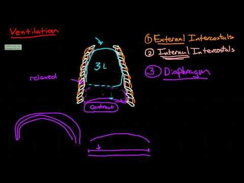 Introduction to Anatomy: Ventilation - YouTube | A&P | Respiratory ...