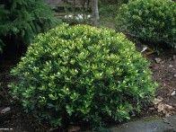 Gallberry holly #einheimischepflanzen