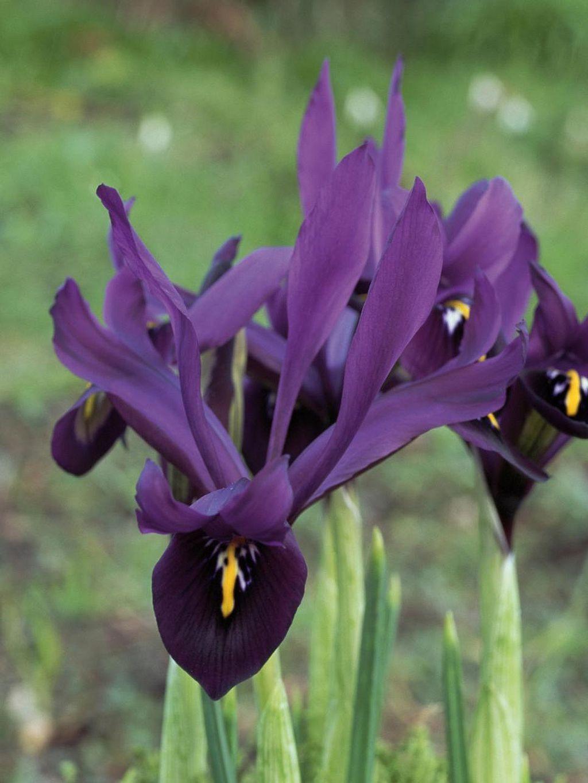 Awesome Pretty Deep Purple Bulbs Garden Httpsgardenmagz