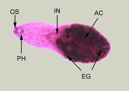 Adult of H. heterophyes, stained with carmine. In this figure, the following structures are labeled: oral sucker (OS), pharynx (PH), intestine (IN), ventral sucker, or acetabulum (AC), and eggs within the uterus (UT).