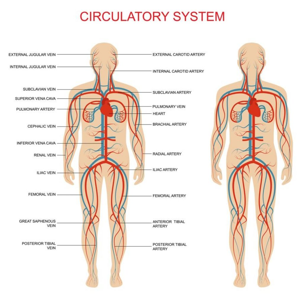 Circulatory System Main Parts And Functions Fosfe Respiratory