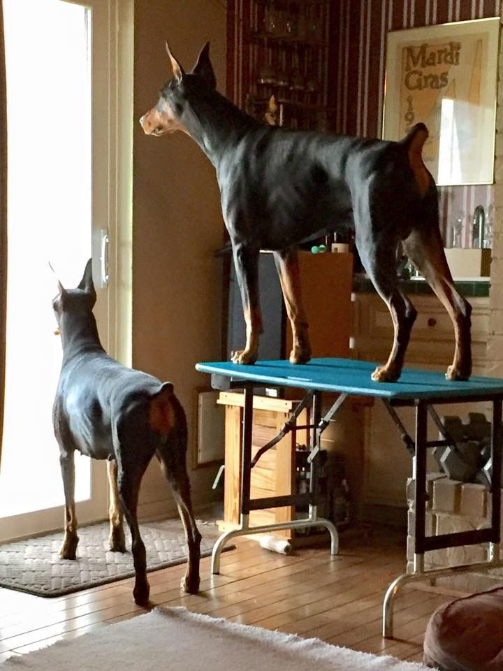 Pin By Ana Popa On Ma Am S Best Friend Doberman Dogs Doberman