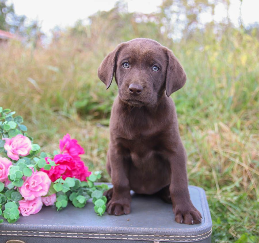 Lablove Adorable Lovable Loyal And Fulloflife This Beautiful Chocolate Labrador Labrador Retriever Labrador Retriever Puppies Lancaster Puppies
