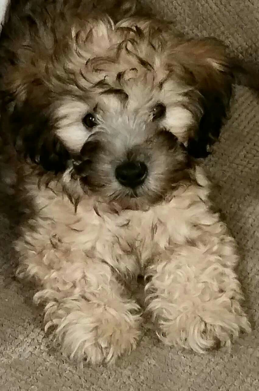 Our Mini Whoodle Wheaton Terrier And Poodle 9 Weeks Old