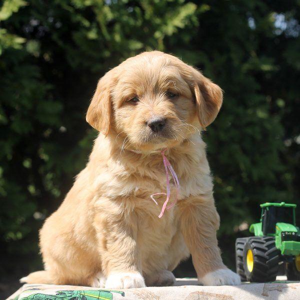 Trenton - Goldendoodle-Miniature Puppy For Sale in