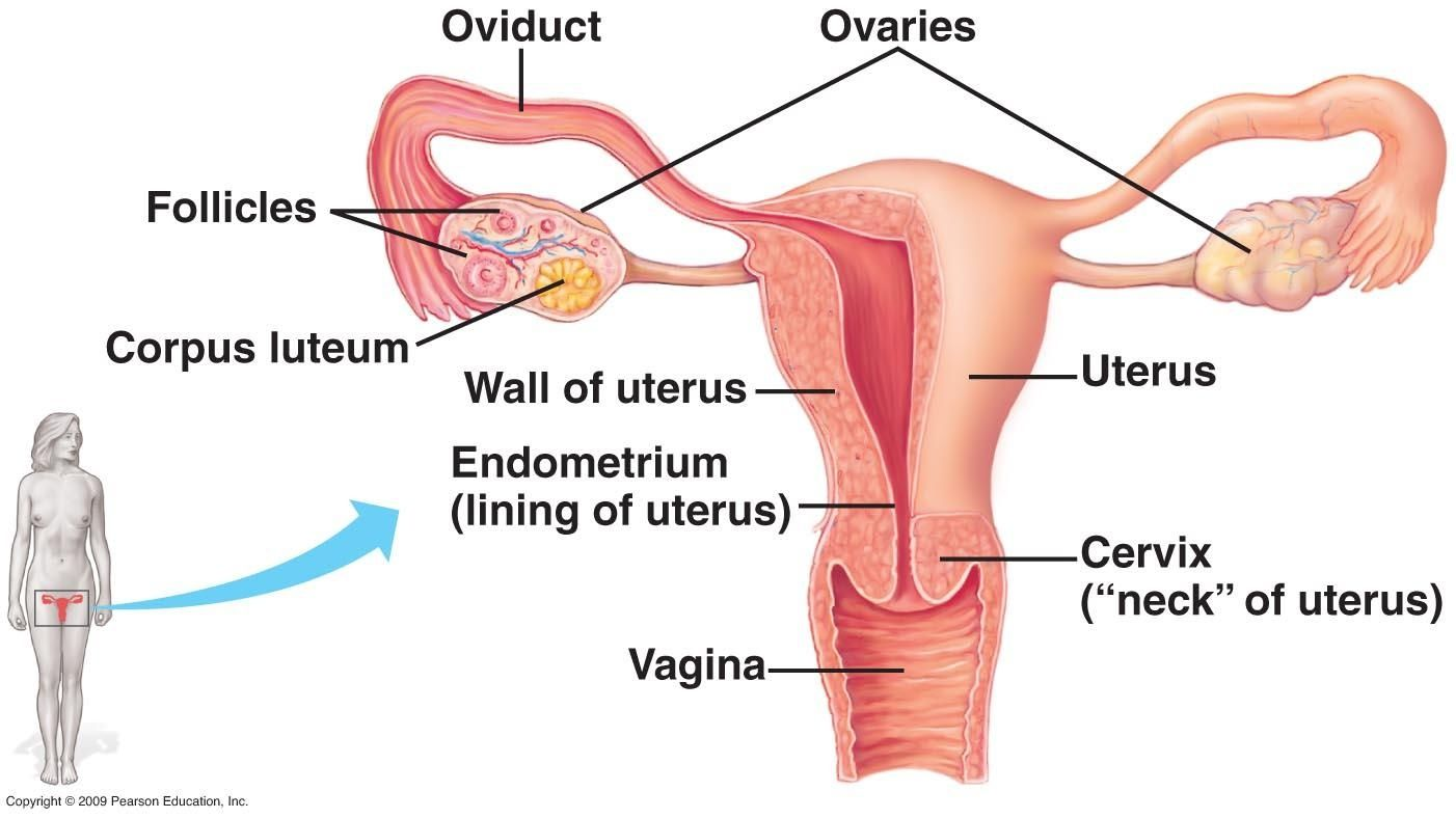 Diagram Of Female Parts Human Body Anatomy Pinterest Human