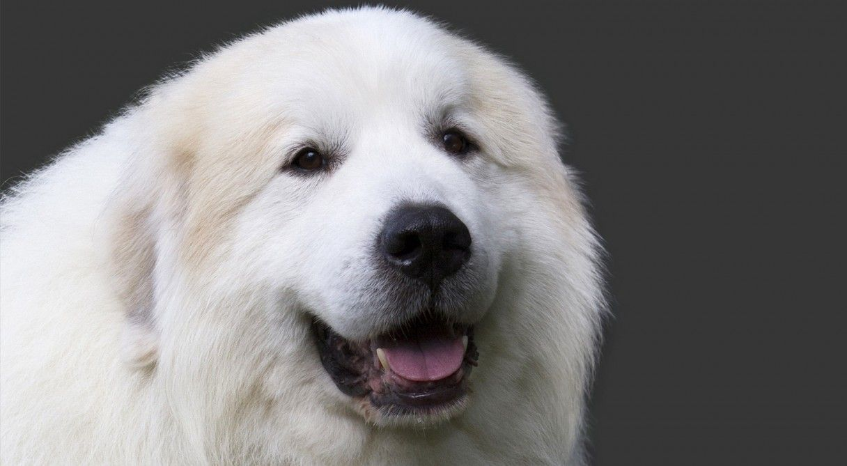 Great Pyrenees Dog Breed Information Great Pyrenees Great