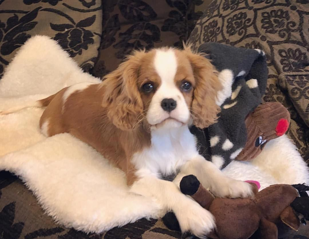 Cavalier king charles spaniel graceful and affectionate