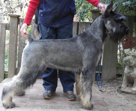 schnauzer Fully shaved