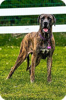 Phoenixville Pa English Mastiff Great Dane Mix Meet Hazel A