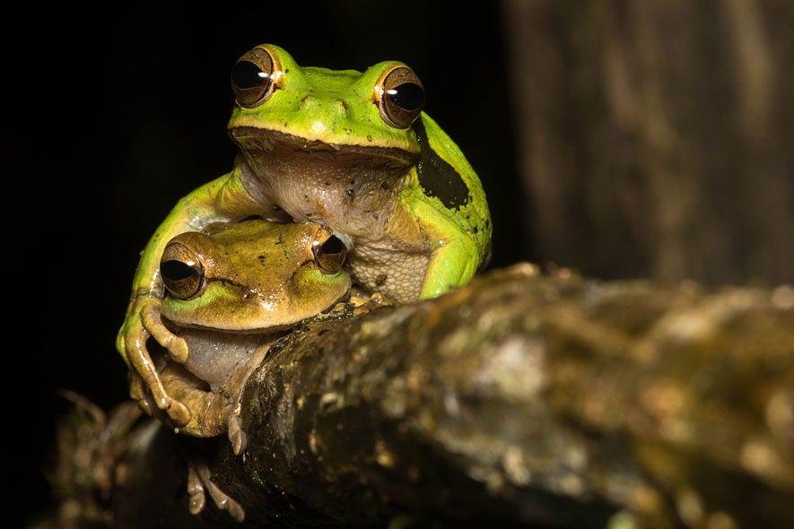 Comedy Wildlife Photography Award: Die witzigsten Tierfotos der Welt: Frösche