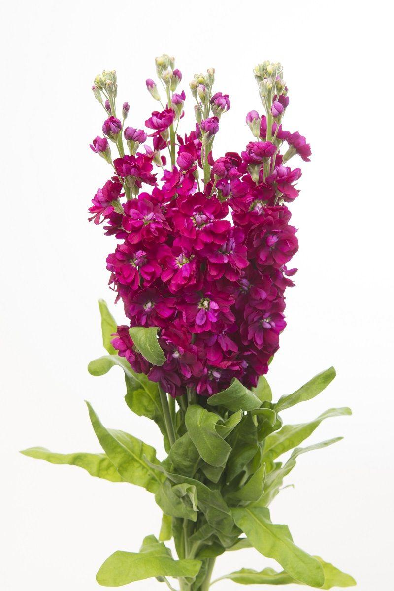 Lewkonia Letnia Excelsior Czerwonowisniowa Sklep Swiat Kwiatow Dostawa Gratis Flower Drawing Images Flowers Stock Flower