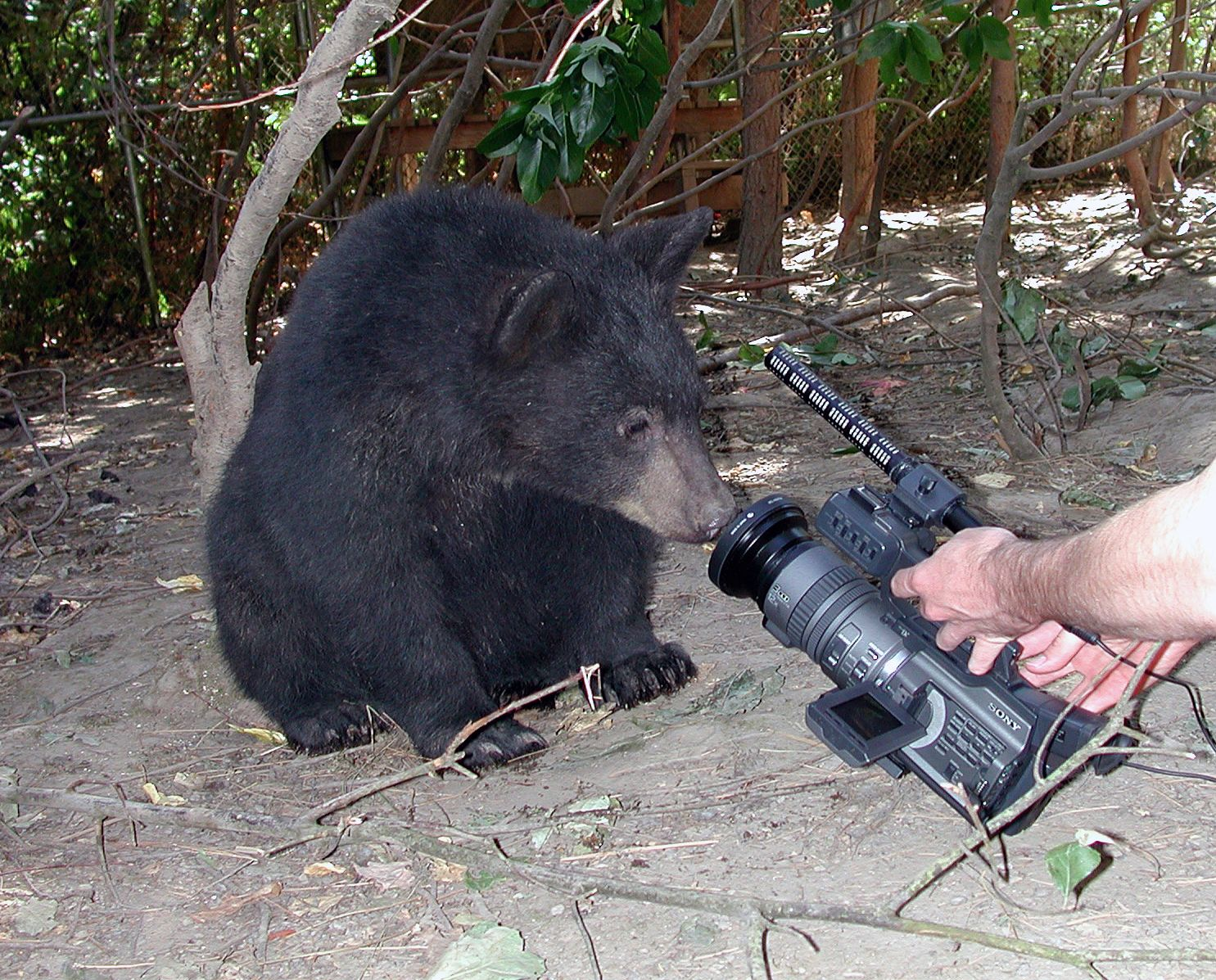 Filming rehab black bears for animal in 2003 with