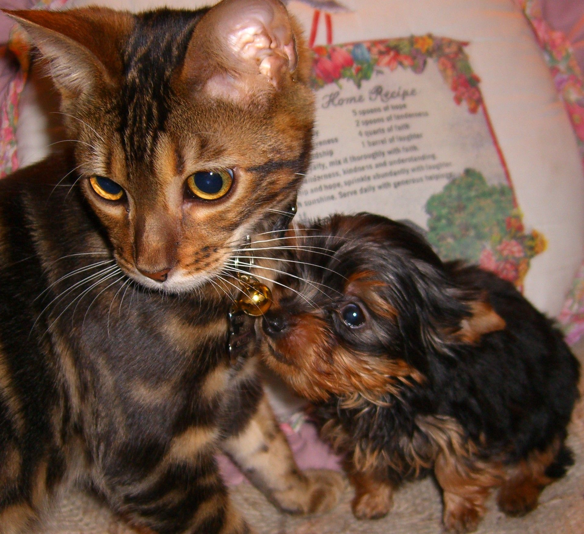 Images Of Yorkies Cathy S Gorgeous Yorkies Teacup Golddust Parti Chocolate Parti Yorkie Yorkshire Terrier Puppies