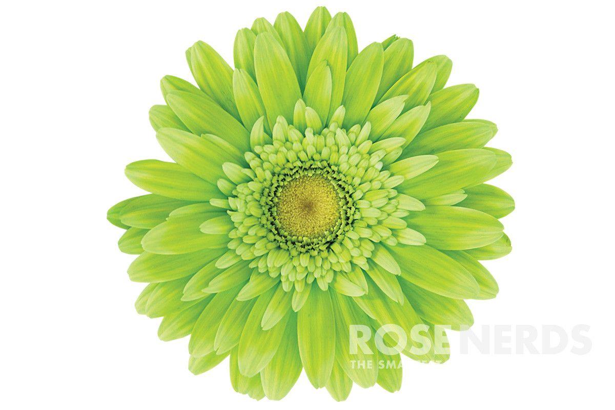 wholesale lime green color enhanced gerbera daisies 50 stems