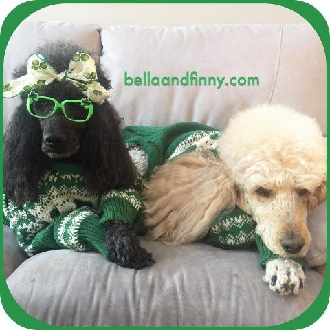 Irish Poodles Watching A Good Irish Movie In Preparation For St Patricks Day Tomorrow Poodle Irish Movies Best Dogs