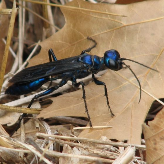 Sphecid Chlorion Aerarium Insect Identification Small Pets Steel Blue