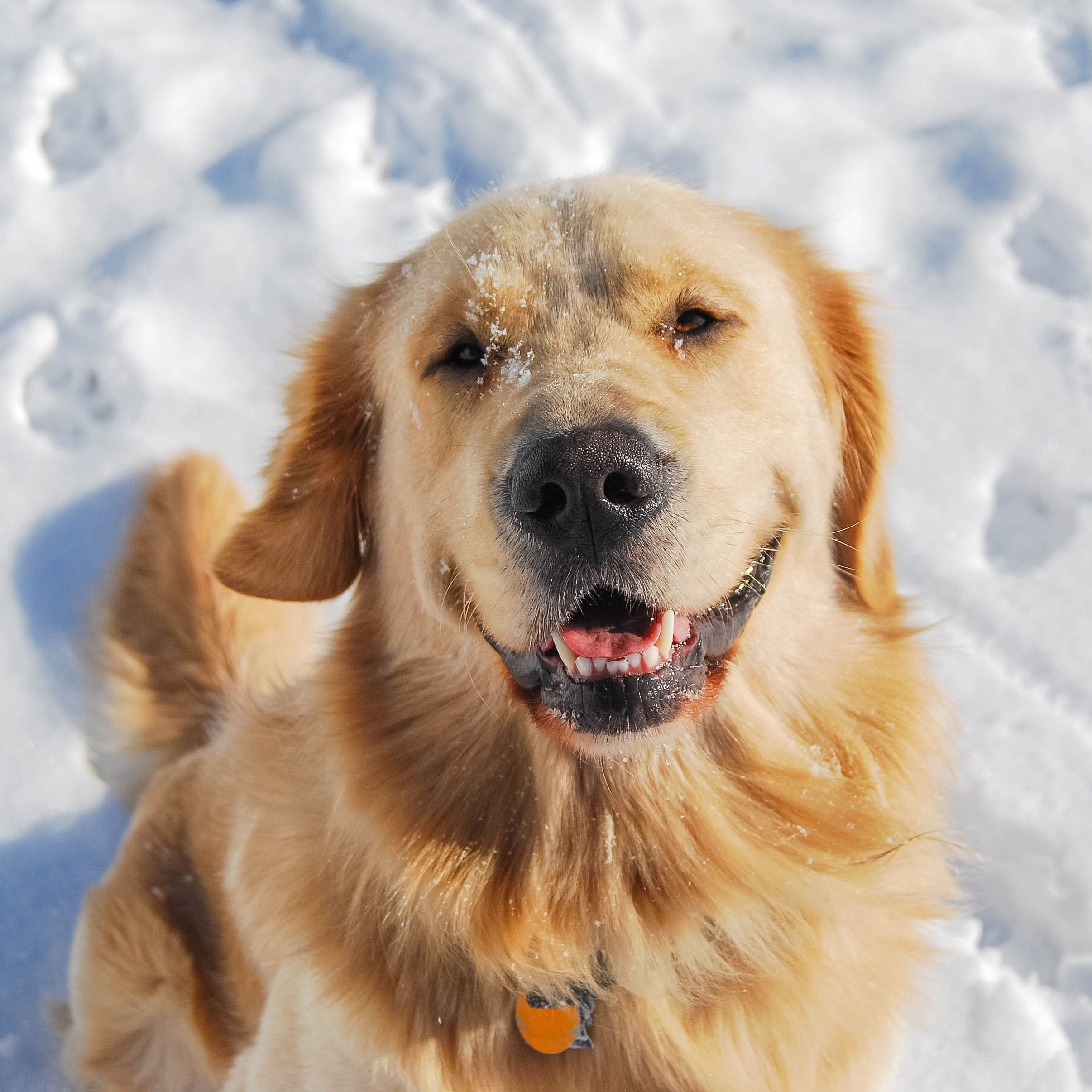 Beautiful Golden Retriever Happy As Can Be During Winter In Maine