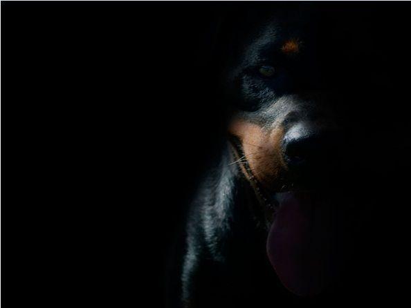 Dark Rottweiler Wallpaper For Android Animals Rottweiler Dog
