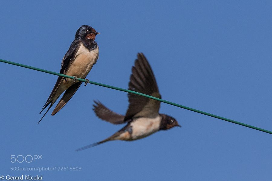 barn swallow on a wire by gerardnicolai via http://ift.tt ...