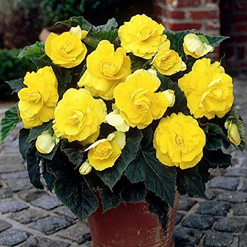 Amazon Com Begonia Tubers Roseform Yellow Bag Of 12 Mid Summer Bright Yellow Flowers Garden Outdoor Container Flowers Bulb Flowers Begonia