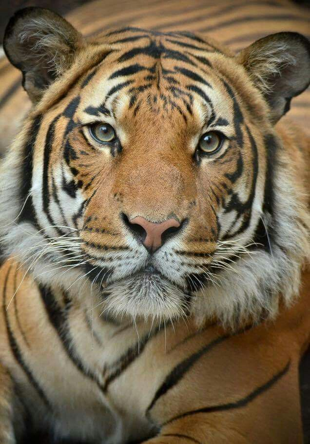 Connor returns to Tiger Trail, May 19, 2015 Big cats art