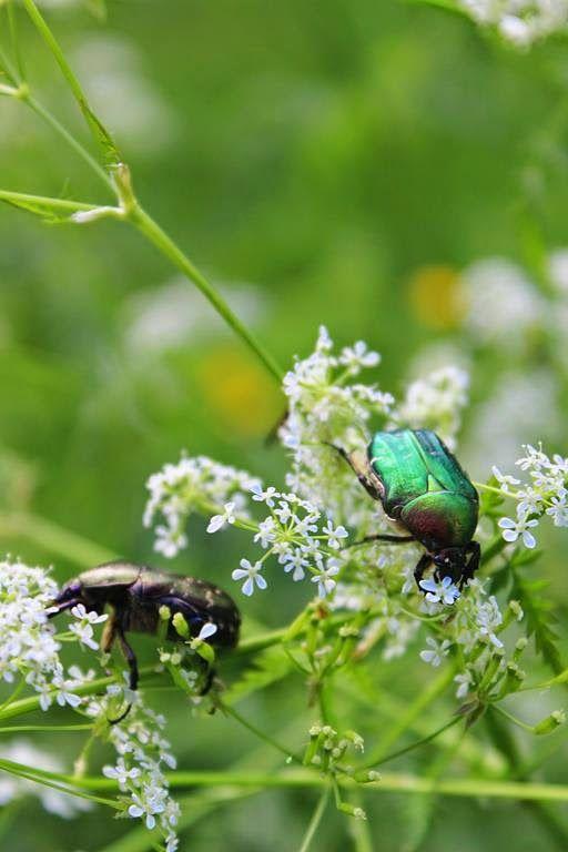 beetles looks jewels