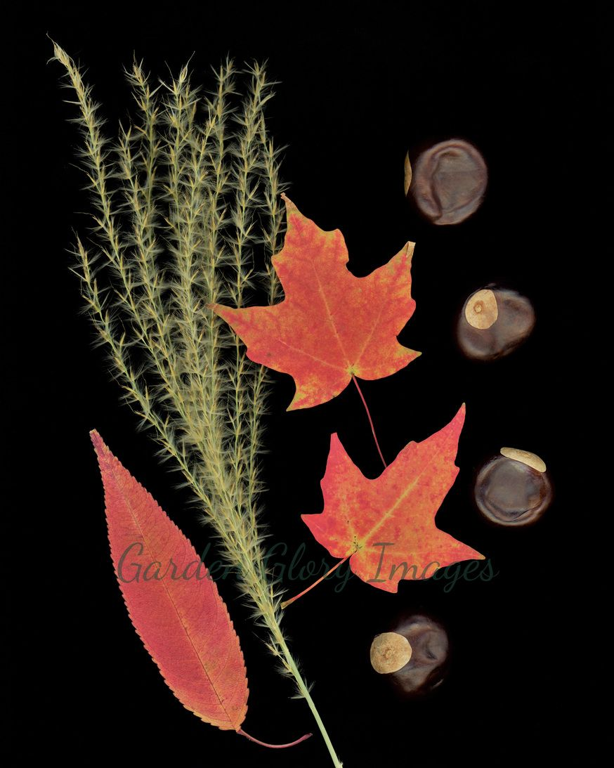 Flame grass, red maple leaves and buckeyes populate this image. Autumn in Iowa on your wall! gardengloryimages.etsy.com