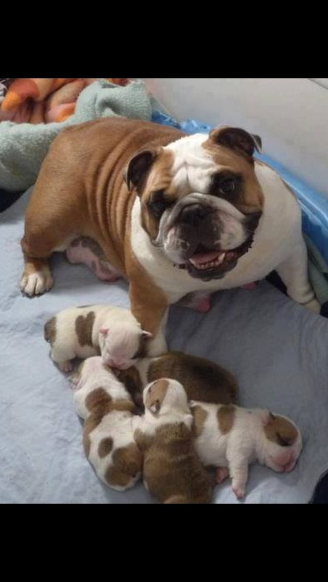 Soooo Sweet Tres Mignon English Bulldog Puppies
