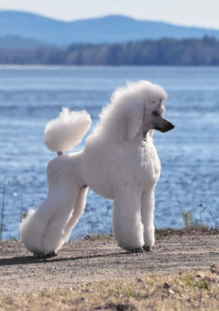 Poodls Poodle Showcuts Scandinavian Second Puppy German Toilette