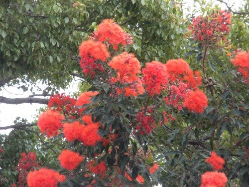 Red Flowering Gum Tree Coastal Gardening In Southern California Flowering Trees Eucalyptus Tree Tree