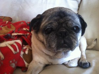 Darby Available For Adoption Through Mid Atlantic Pug Rescue