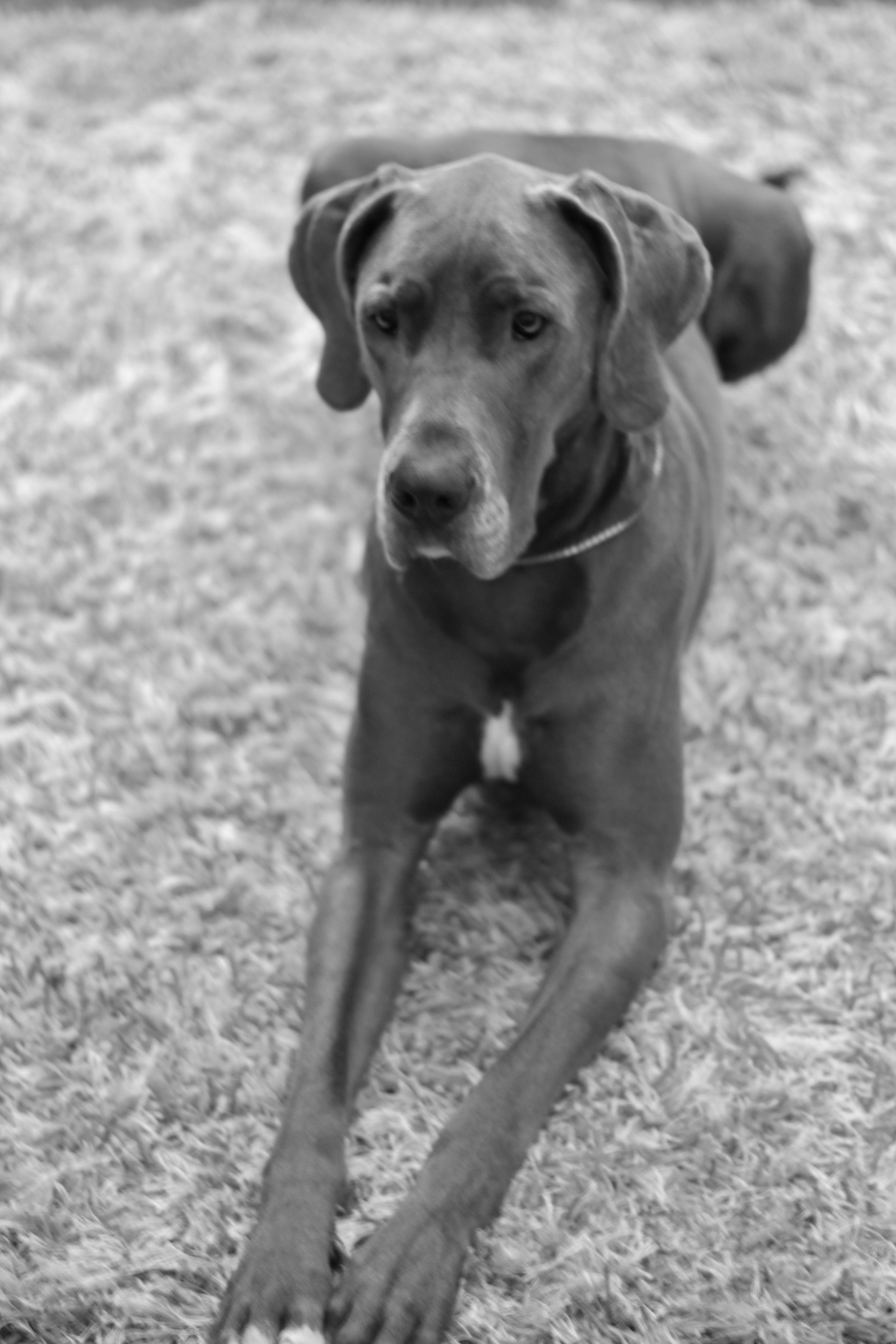 Great Danes blue Hunde