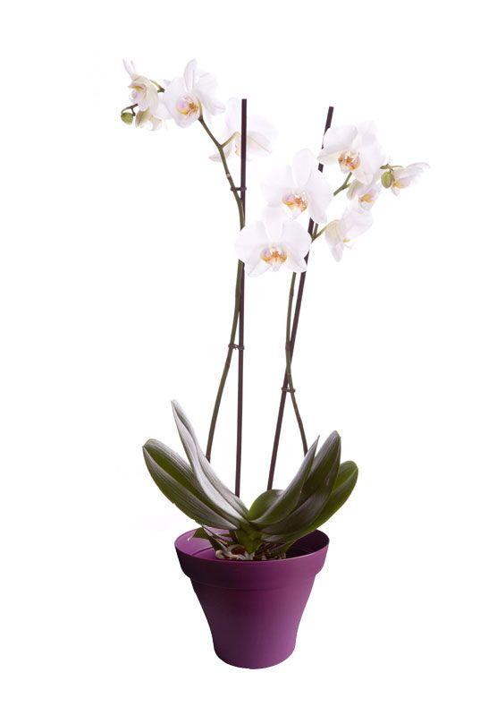 Orchidée phalaenopsis blanche 2 branches avec cache pot violet ...