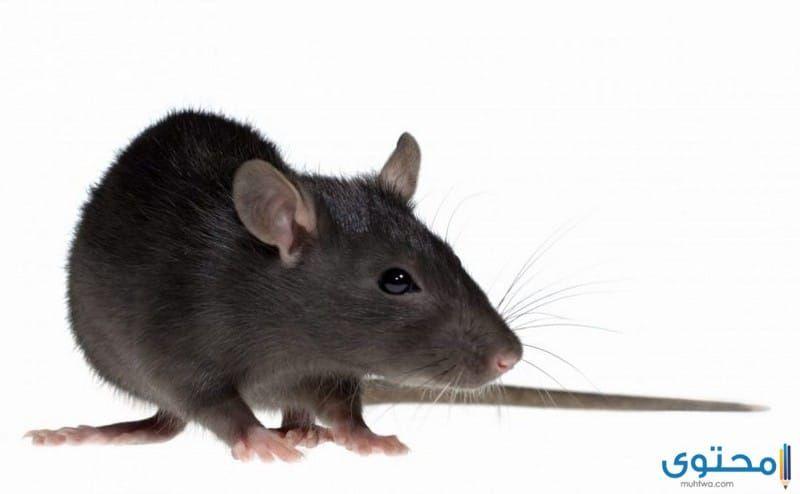 تفسير حلمت اني قتلت فار في المنام Animals Funny Rats Best Pest Control