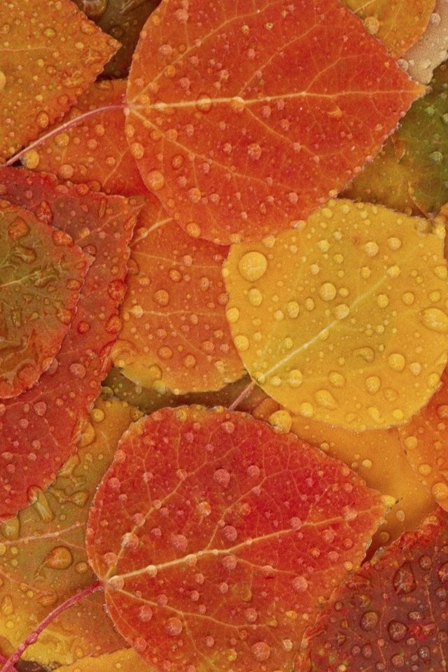 Maple Leaf And Water Drop Iphone 4s Wallpapers Autumn Leaves