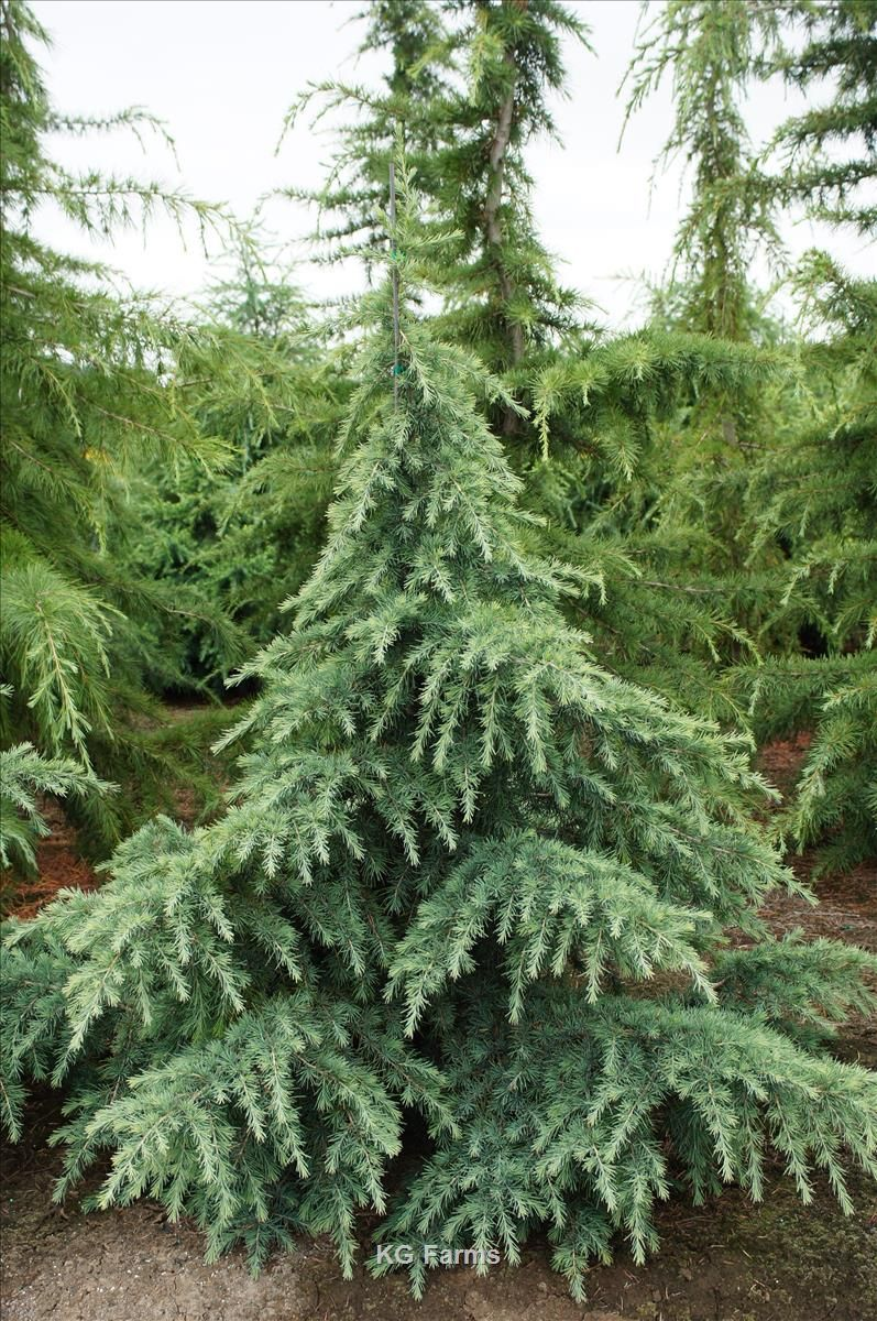 Cedrus Deodara Prostrate Beauty Whole Nursery Supplies Plant Growers In Oregon