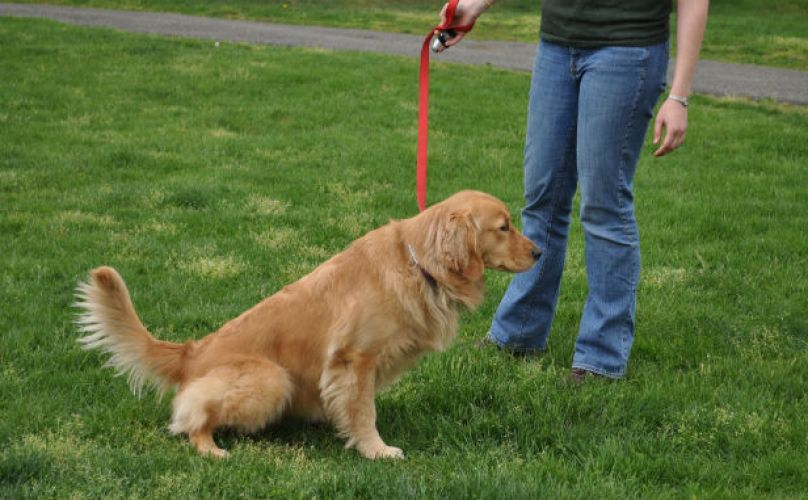 How To Get Your Dog To Go To The Bathroom On Command Bladder Infection In Dogs Dog Urine Dog Training
