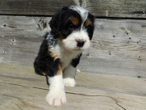 Miniature Bernedoodle Puppy For Sale In Millersburg Oh Adn 45288