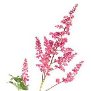 Pink Astilbe Flower Blumen Prachtspiere Arten Von Blumen