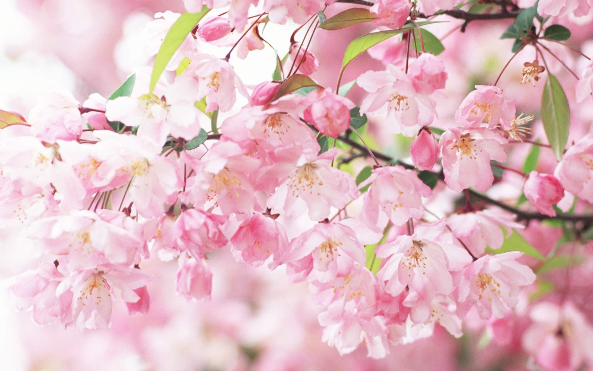 Pink Flowers Filed In Blooming Colorful