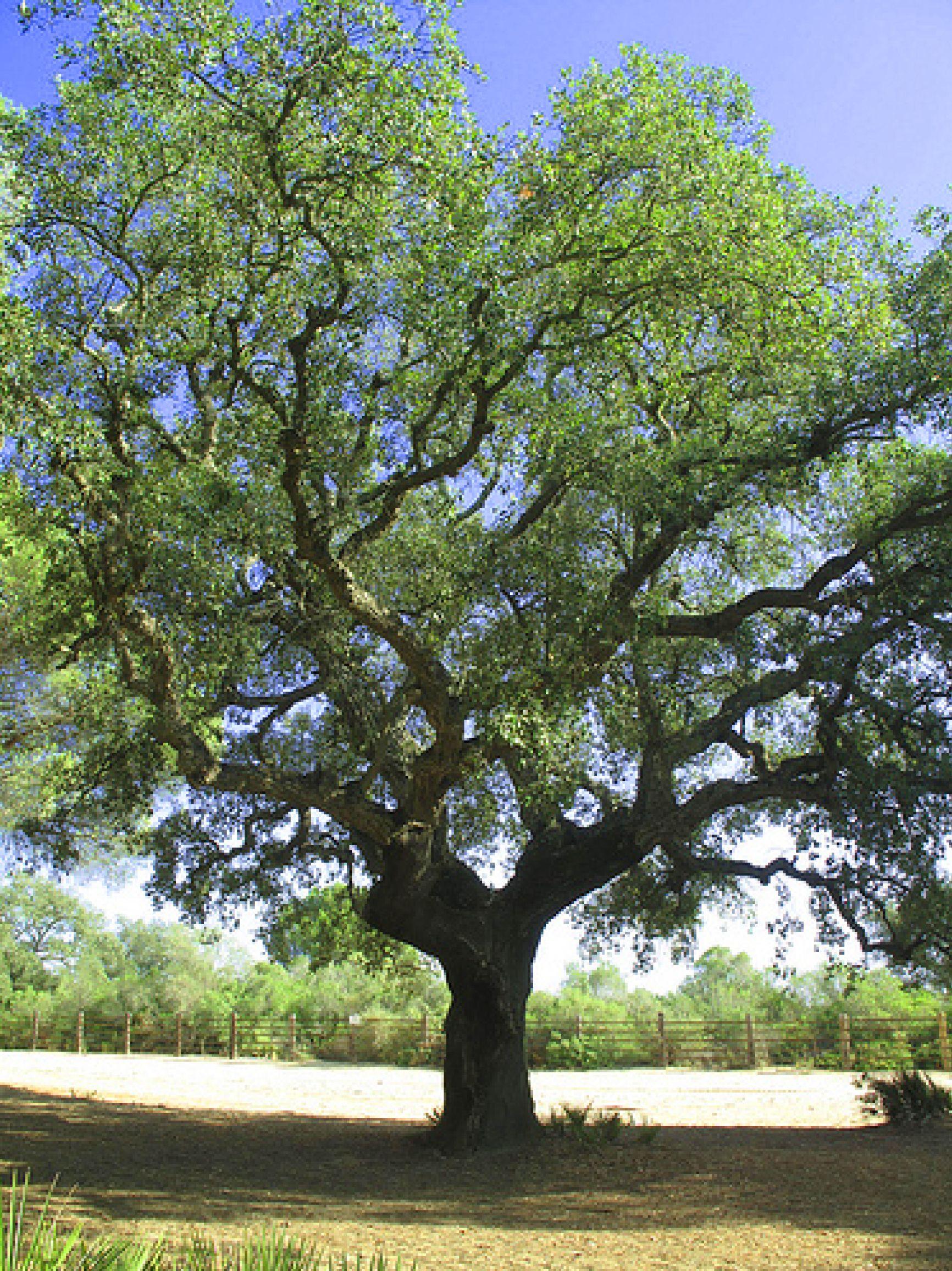 Cork Oak Backyard Trees Trees To Plant Mediterranean Garden