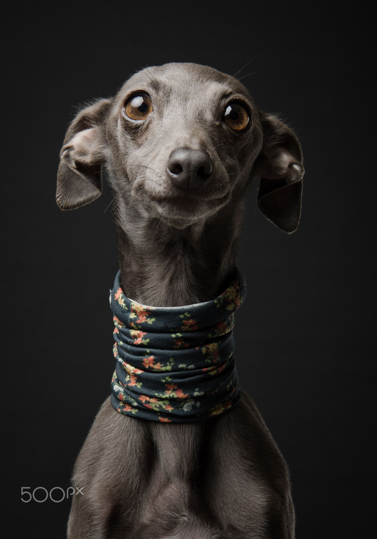 Adi Adi An Italian Greyhound Whippets Are Good For Both Homes With Yards And Apartments Bew Italian Greyhound Dog Greyhound Puppy Italian Greyhound Puppies