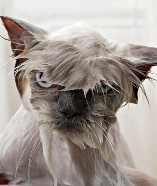 17 Wet Cats Who Will Never Forgive You Mom Me Angry Animals