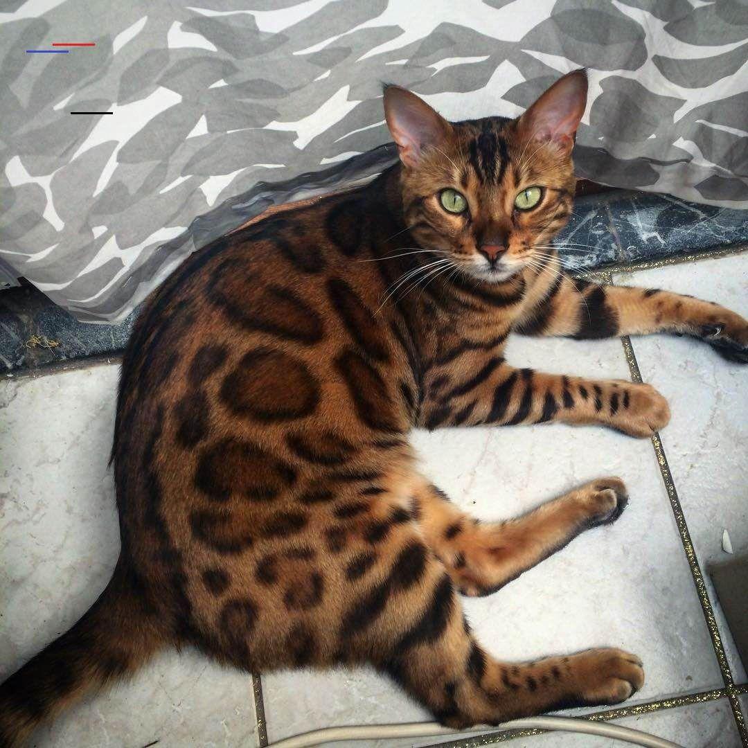 Bengalkittens In 2020 Bengal Kitten Bengal Cat Cats And Kittens