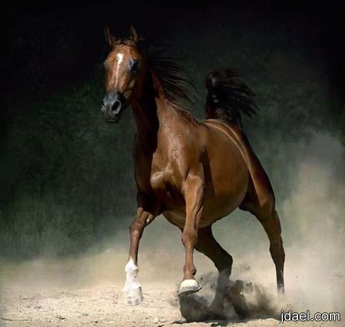 صور خيول عربيه اصيله ومهجنه Beautiful Horses Horses Majestic Horse