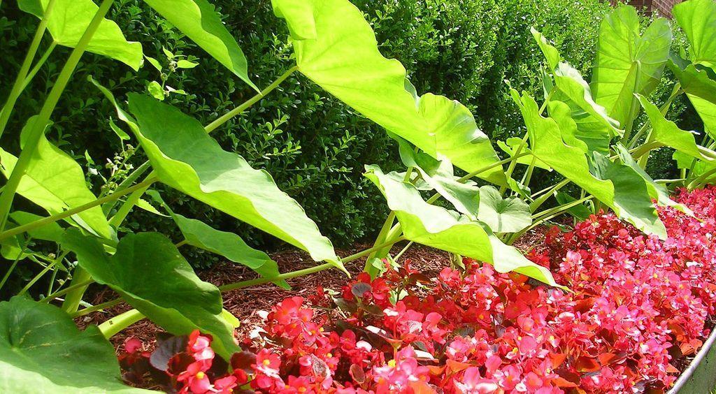 Tropical looking border & plants for privacy: begonias, impatiens, geraniums, pothos, croton, dieffenbachia, spider plant, sweet potato vine, Okra, Rhubarb, asparagus, hostas, ferns, elephant ears, bamboos, palms, ornamental grasses, coleus, caladiums, fuchsias, hibiscus,  canna, passionflower, trumpet vine, dill, artichoke, castor beans(poisonous), dahlia, tuberose, peruvian daffodil, banana & frangipani, brussel sprouts #elephantearsandtropicals Tropical looking border & plants for privacy: be #elephantearsandtropicals