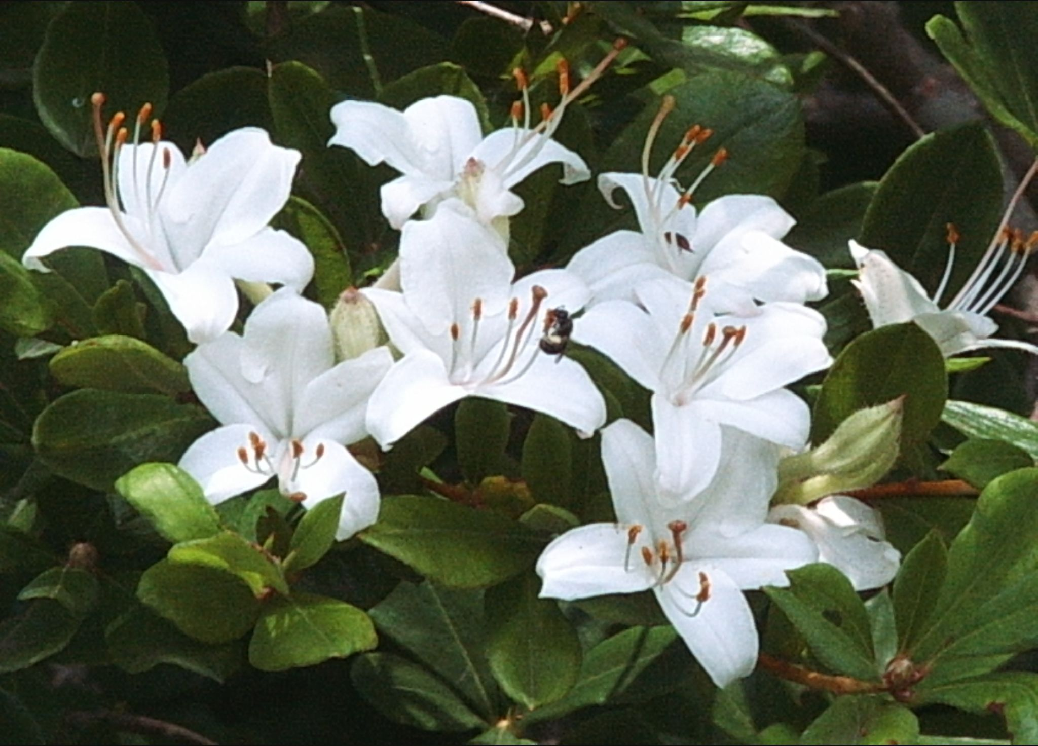rhododendron viscosum  swamp azalea   medium height  deciduous shrub of forested wetlands and