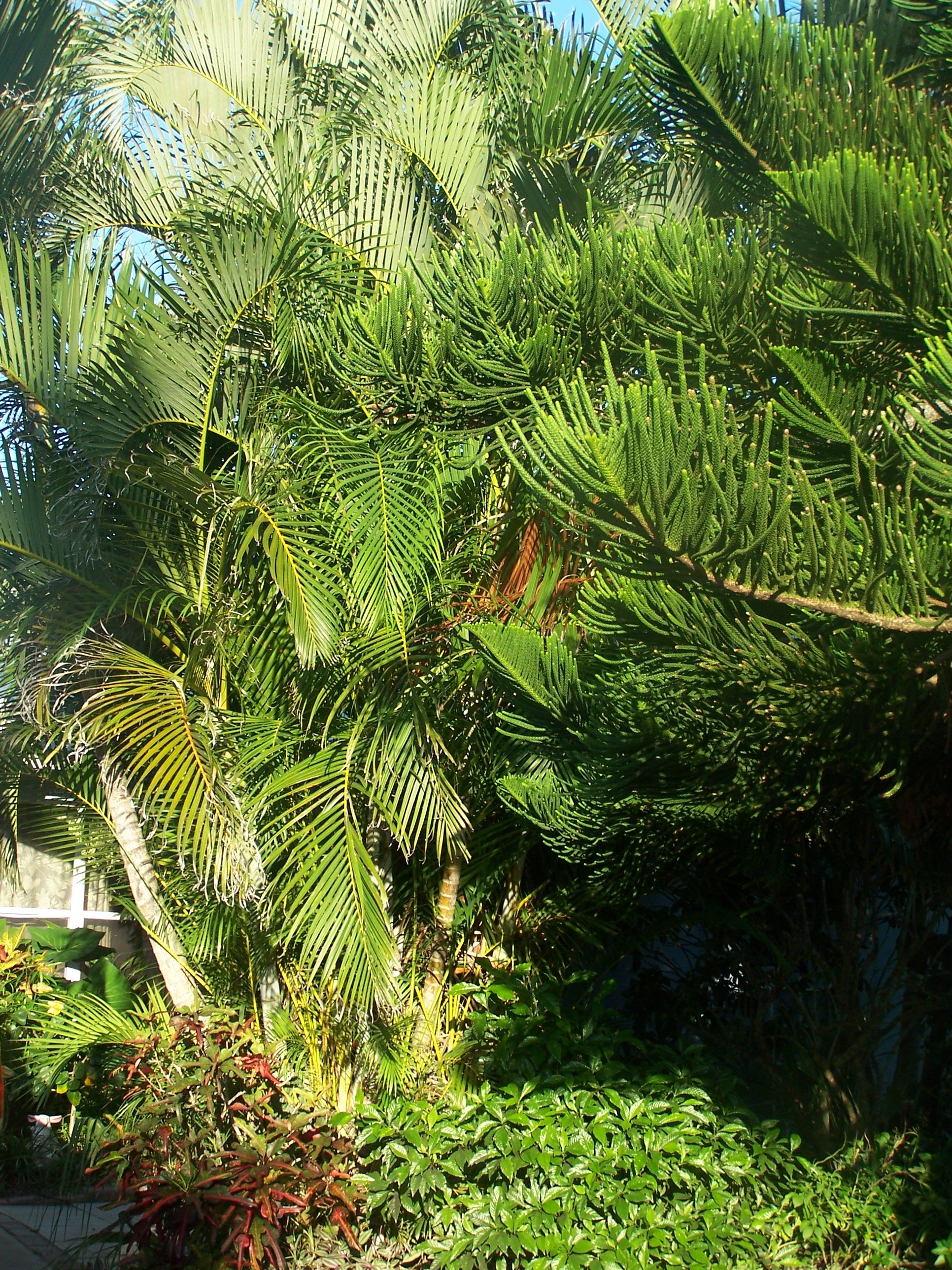 Palm Areca How To Care For An Areca Palm Tree Garden Www