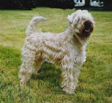 Irish Soft Coated Wheaten Terrier Zwinger Of Allstarman S Clan Freital Sachsen Bild 1 Snautz De Grosse Hunde Hunde Wheaten Terrier